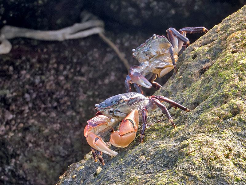 a study of shore crab response to intertidal stimuli Essay about the intertidal rocky shore of caloundra beach the 5 major zones of a rocky shore are the supra-littoral zone, upper littoral, the middle littoral zone, the lower littoral zone and the sub-littoral zone.