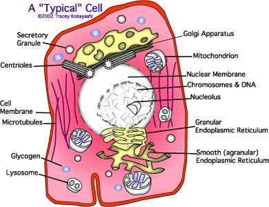 anatomy of a muscle cell essay